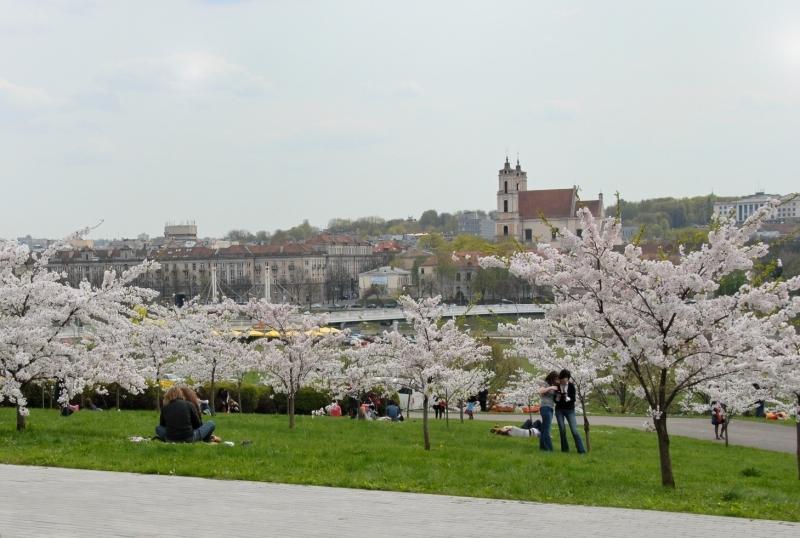 Sakurs in Vilnius